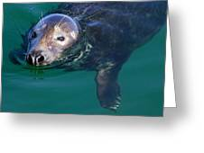 Chatham Harbor Seal Greeting Card