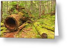 Cheakamus Old Growth Cedar Stumps Greeting Card