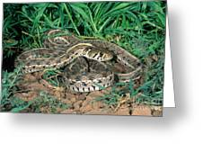 Checkered Garter Snake Greeting Card