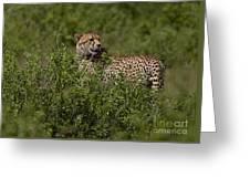 Cheetah   #0089 Greeting Card