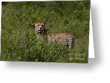 Cheetah   #0090 Greeting Card