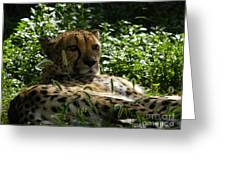 Cheetah 2 Greeting Card