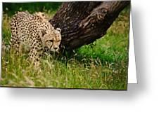 Cheetah Acinonyx Jubatus Big Cat  Greeting Card