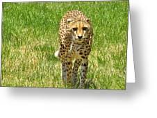 Cheetah Approaching Greeting Card