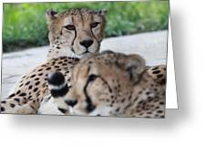 Cheetah Awakening Greeting Card