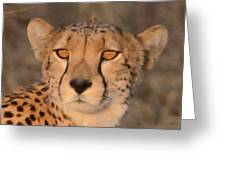 Cheetah Gaze At Sunset Greeting Card