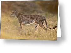Cheetah In Grassland Kenya Greeting Card