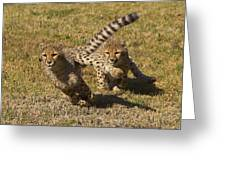 Cheetah Juveniles Playing Greeting Card