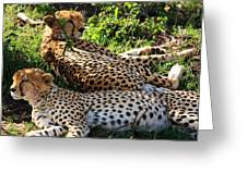 Cheetah - Masai Mara - Kenya Greeting Card