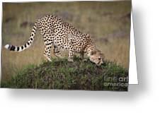Cheetah On Termite Mound Greeting Card