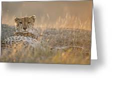 Cheetah Prepares To Sleep Greeting Card