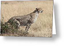 Cheetah Ready For The Off Greeting Card