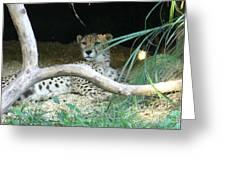 Cheetah Resting  Greeting Card