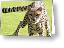 cheetah Running Portrait Greeting Card