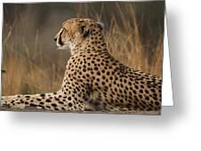 Cheetah South Africa Greeting Card