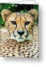 Cheetah Stare L Greeting Card