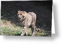 Cheetah Strutting Greeting Card