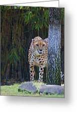 Cheetah Watching Greeting Card