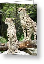 Cheetah's 02 Greeting Card