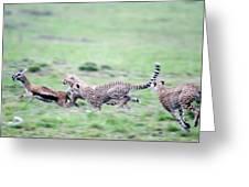 Cheetahs Acinonyx Jubatus Chasing Greeting Card