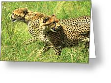Cheetahs Running Greeting Card