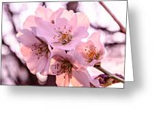 Cherry Blosom. Greeting Card