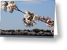 Cherry Blossom Dc Greeting Card