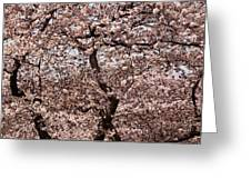Cherry Blossom Trees In Potomac Park Greeting Card