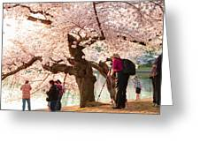 Cherry Blossoms 2013 - 006 Greeting Card