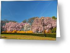 Cherry Blossoms 2013 - 052 Greeting Card