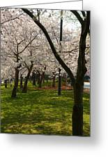 Cherry Blossoms 2013 - 057 Greeting Card