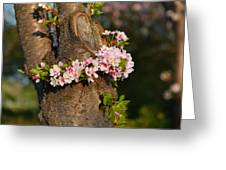 Cherry Blossoms 2013 - 064 Greeting Card