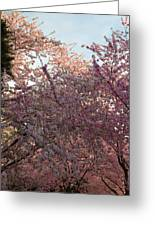 Cherry Blossoms 2013 - 065 Greeting Card
