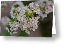 Cherry Blossoms 2013 - 068 Greeting Card