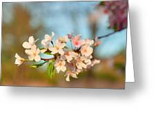 Cherry Blossoms 2013 - 073 Greeting Card
