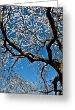 Cherry Blossoms And Sky Greeting Card