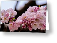Cherry Blossoms Finally Greeting Card