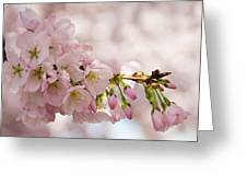 Cherry Blossoms No. 9164 Greeting Card