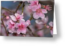 Cherry Blossoms Greeting Card by Old Pueblo Photography