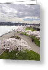 Cherry Blossoms Trees Along Willamette River Waterfront Greeting Card