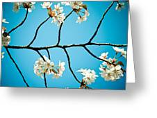 Cherry Blossoms With Sky Greeting Card by Raimond Klavins