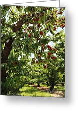 Cherry Orchard  Greeting Card