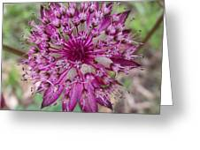 Cherry-queen Of The Prairie Flower Greeting Card