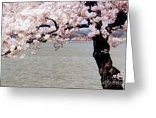 Cherry Tree And The Potomac Greeting Card