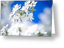 Cherry Tree Blossom  Greeting Card by Raimond Klavins