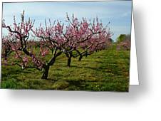 Cherry Trees Greeting Card