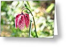 chess-flower in the gardens of Enkoping spring 2012 Greeting Card