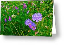 Chicory And Purple Vetch Along Rivier Du Nord Trail In Laurentians-quebec Greeting Card