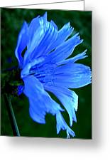 Chicory Greeting Card by Mark Malitz