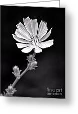 Chicory Wildflower Greeting Card